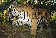Tiger populations recovering under effective protection