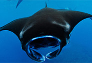 Translating policy into practice for Manta Rays