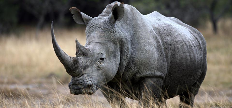 Pics Of A Female Black Rhino 105