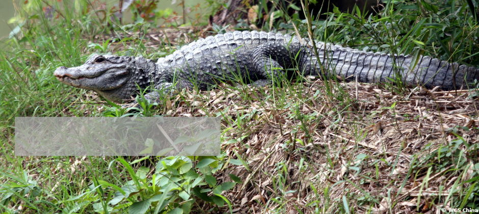 Reintroduction of chinese alligator
