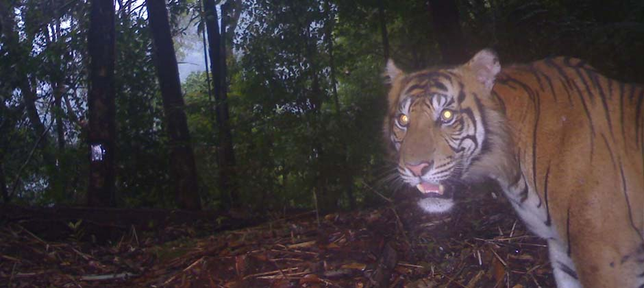 Tiger Sumatra Camera Trap