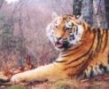 Amur Tiger Cameratrap Photo by WCS Monitoring 2009