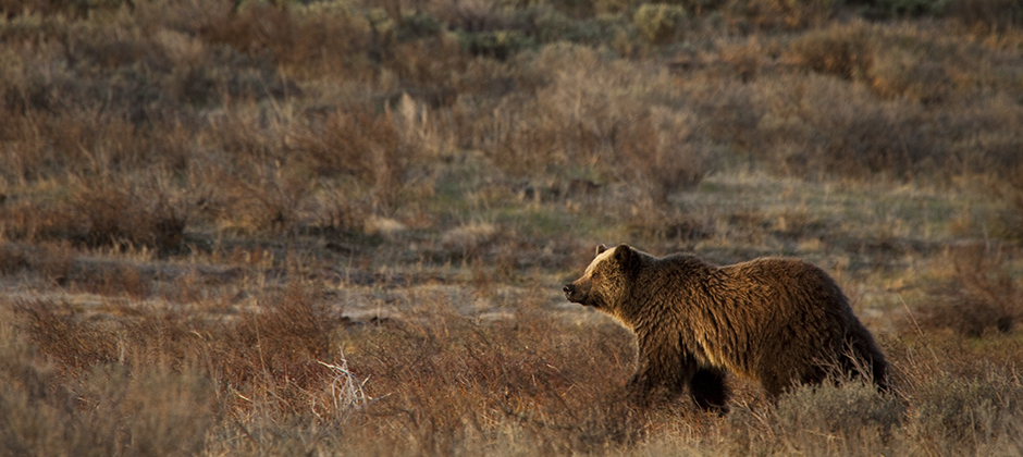 Ensuring grizzly bears have room to roam across the High Divide