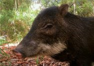 Peccary Close Up