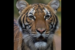 A Tiger at Bronx Zoo Tests Positive for COVID-19;  The Tiger and the Zoo's Other Cats Are Doing Well at This Time