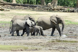 STUDY: A Lost Century for Forest Elephants