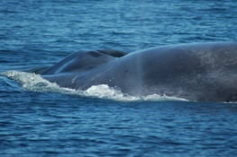 "Scientists Studying Blue Whale DNA Uncover an Epic Journey by ""Isabela""and First Link to Breeding Ground for Chilean Blue Whales"