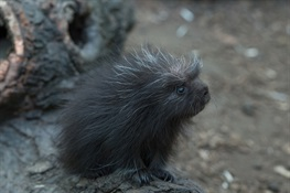 North American Porcupine Born at WCS's Bronx Zoo