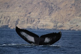 Massive Genetic Study of Humpback Whales To Inform Conservation Assessments of Ocean Giants