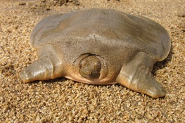 Over 150 Asian Giant Softshell Turtles Return to the Wild