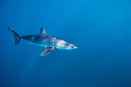 Sharks! CITES CoP18 Crucial for Mako, Guitarfish and Wedgefish