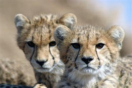 Spring Toward Extinction? Cheetah Numbers Crash Globally