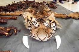 August 13 -Tiger Poachers and Dealer Busted In Indonesia