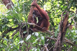 Old Math Counts New Orangutans