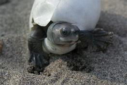PHOTO RELEASE: The Turtle that Almost Went Extinct, Now Ready for Its Close-up