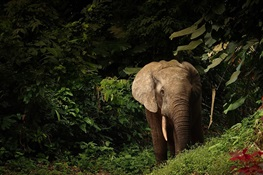 New Endangered and Critically Endangered status for African elephants