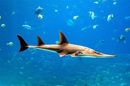 CITES CoP 18: 10 Shark & Ray Facts