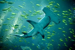 Experts Plan Conservation Roadmap for Shark and Ray Hotspot