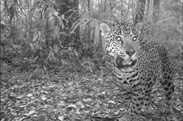 Jaguars Receive Further Protection Under Convention of Migratory Species