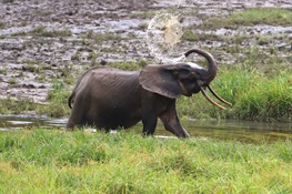 Forest Elephants are Now Critically Endangered –  Here's How to Count Them (English and French)