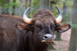 Bronx Zoo Gaur Herd Grows by 7: Two Born During Temporary COVID Closure
