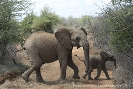 The United Kingdom Announces One of the Strongest National Elephant Ivory Bans To-Date