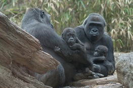 Two Baby Western Lowland Gorillas Debut at WCS's Bronx Zoo