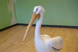 Bronx Zoo Welcomes American White Pelican  With a Big Personality and Bigger Story