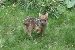 World's Smallest Deer Species Born at WCS's Queens Zoo