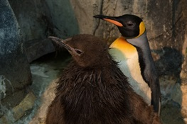 WCS's Central Park Zoo Announces First King Penguin Ever Hatched in New York City