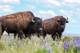 BISON ON THE EDGE: Scientists, Indigenous Peoples, Government Officials, Ranchers, Gather to Develop Roadmap for Rewilding North America Bison