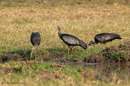 COVID-19 FUELING AN UPTICK IN POACHING: Three Critically Endangered Giant Ibis – Cambodia's National Bird – Killed in Protected Area