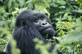 2019 Ends With Good News For Great Apes: Mountain Gorillas Increasing in Numbers