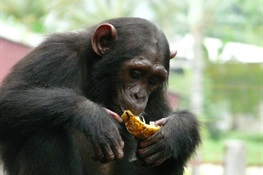 Least Known Chimpanzee Threatened by Climate Change