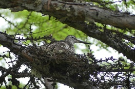 WCS Releases First-Ever Video of Extremely Rare Bird on Nest