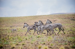 Amazing Video Shows Recent Release of Zebras to Tanzanian Highlands After Nearly 50-Year Absence