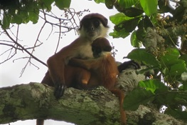 April 16--Critically Endangered Monkey Photographed In Congo's Newest National Park, Ntokou-Pikounda