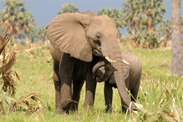 Uganda's Elephants Increasing in Number