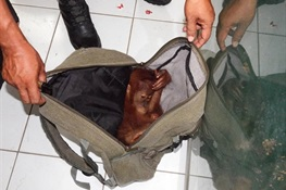 April 16 - Indonesian Authorities Arrest Online Orangutan Trader