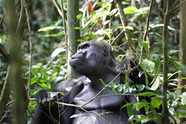 Silverback Gorilla Celebrates 40th Birthday in Congo Rainforest
