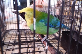 August 31-Forest Rangers Arrest Six Bird Poachers in Gunung Leuser National Park