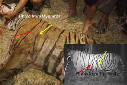 Endangered Tiger Killed in Myanmar Came from Thailand