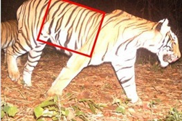 WCS Praises Government of Thailand for Swift Action in Tiger Arrest