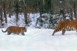 Tiger Dad: Rare Family Portrait of Amur Tigers the First-Ever to Include an Adult Male