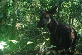 New hope for the Okapi Wildlife Reserve – a wildlife haven under threat in in the heart of the Congo rainforest