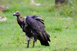 Cambodia's Vultures Remain at the Edge of Extinction
