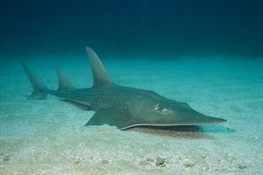 First Signs of Hope for Critically Endangered Wedgefish and Giant Guitarfish in Indonesia