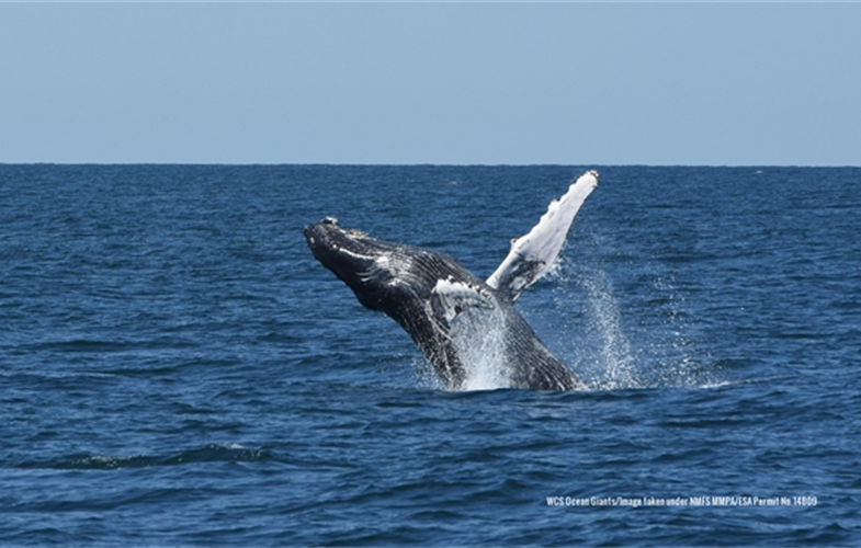 A humpback whale breaching in New York Bight. CREDIT:  CREDIT: WCS Ocean Giants/Image taken under NMFS MMPA/ESA Permit No. 14809