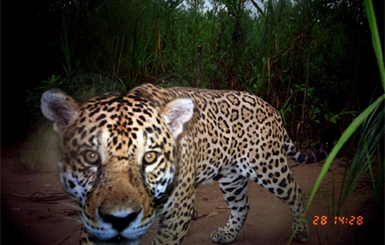 2_Jaguar Camera trap 1