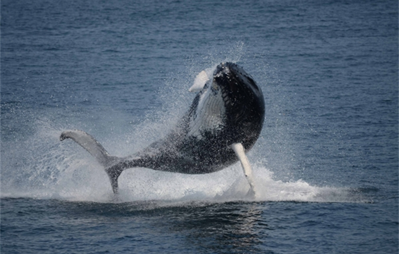 A  breaching humpback  whale.  Photo  credit:  Laura  Howes,  Boston  Harbor  Cruises.